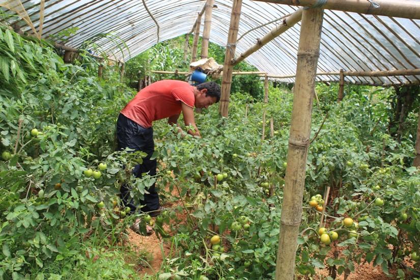 तरकारी खेतीमा जुकाको असर, उत्पादनसँगै बजार मूल्यमा कमी