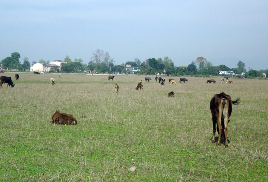 कञ्चनपुरका छाडा पशुचौपाया बाजुरामा व्यवस्थापन