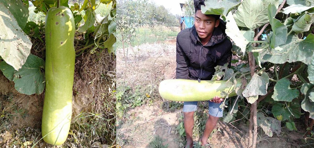 किसानले फलाए १५ किलोको एउटै लौका !