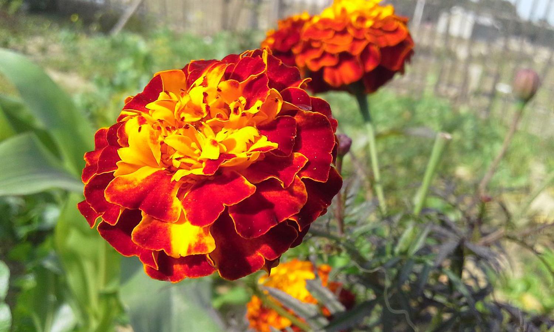 सयपत्री र मखमली फूलमा बाँके आत्मनिर्भर