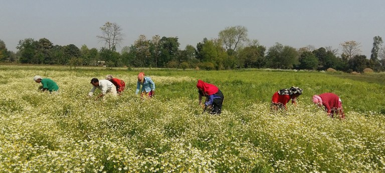 Banke becoming centre for medicinal herb farming