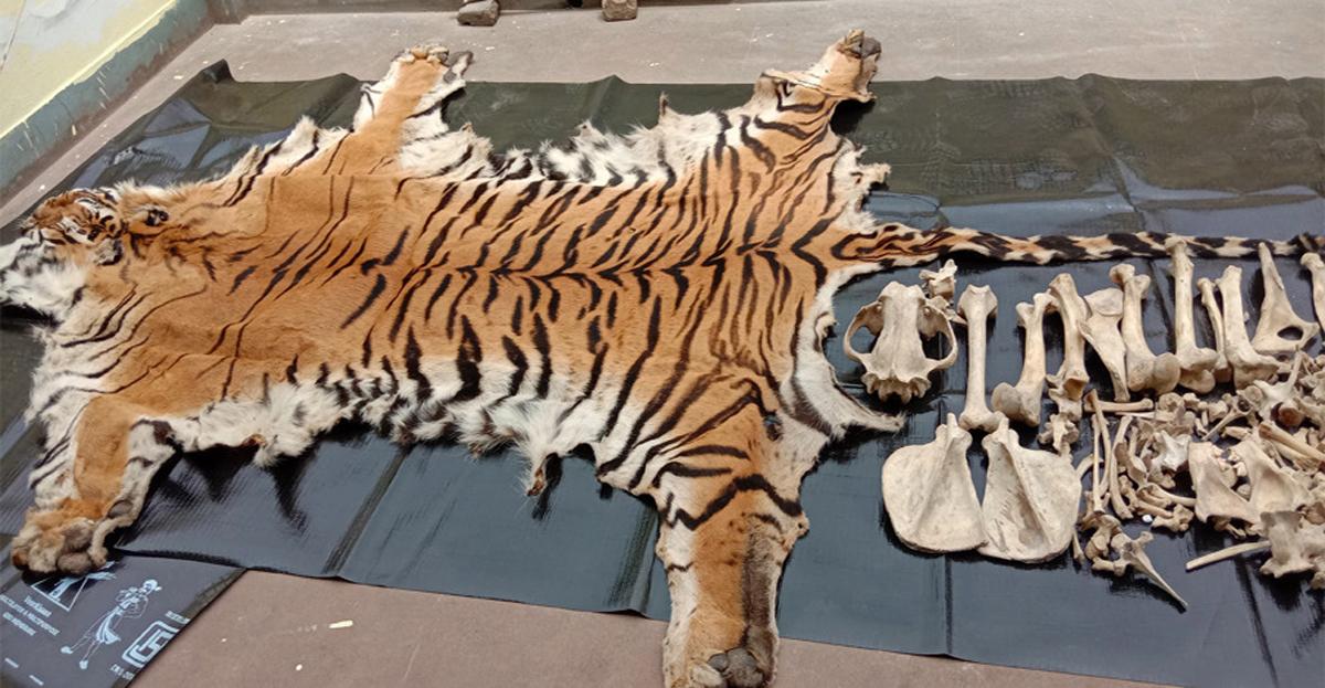 मारिएको बाघ बाँके निकुञ्जकै हो ? निकुञ्जका वार्डेन भन्छन्, 'भेरिफाई गर्दैछौं'