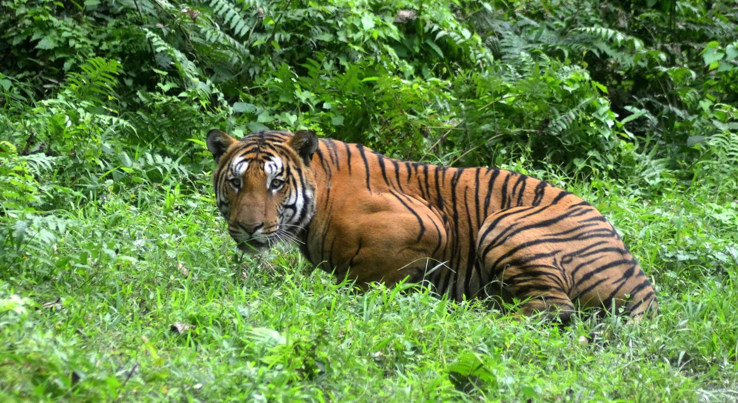 सिम्तामा बाघ आतंक, दिउँसै बाख्रा खान थालेपछि स्थानीय त्रसित