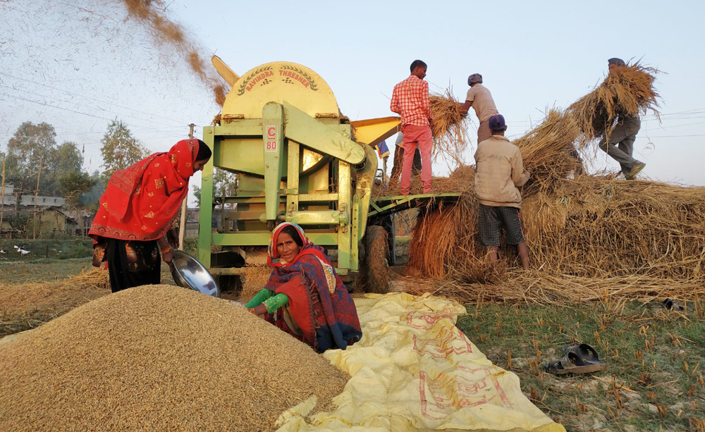 लुम्बिनी प्रदेशमा धान उत्पादन बढ्यो, किसानलाई समर्थन मूल्य पाउनै मुस्किल