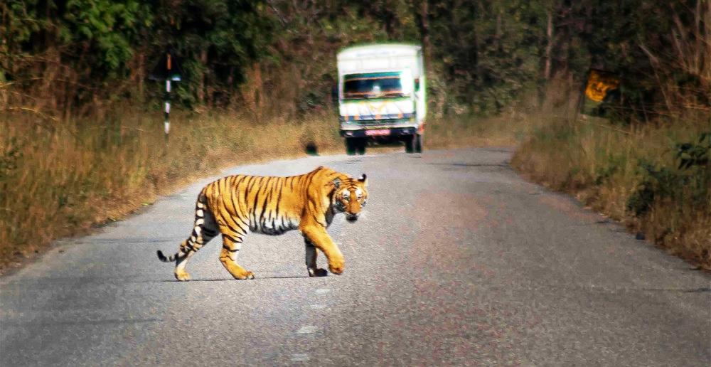 राजमार्गमा दिउँसै 'बाघको गस्ती !'
