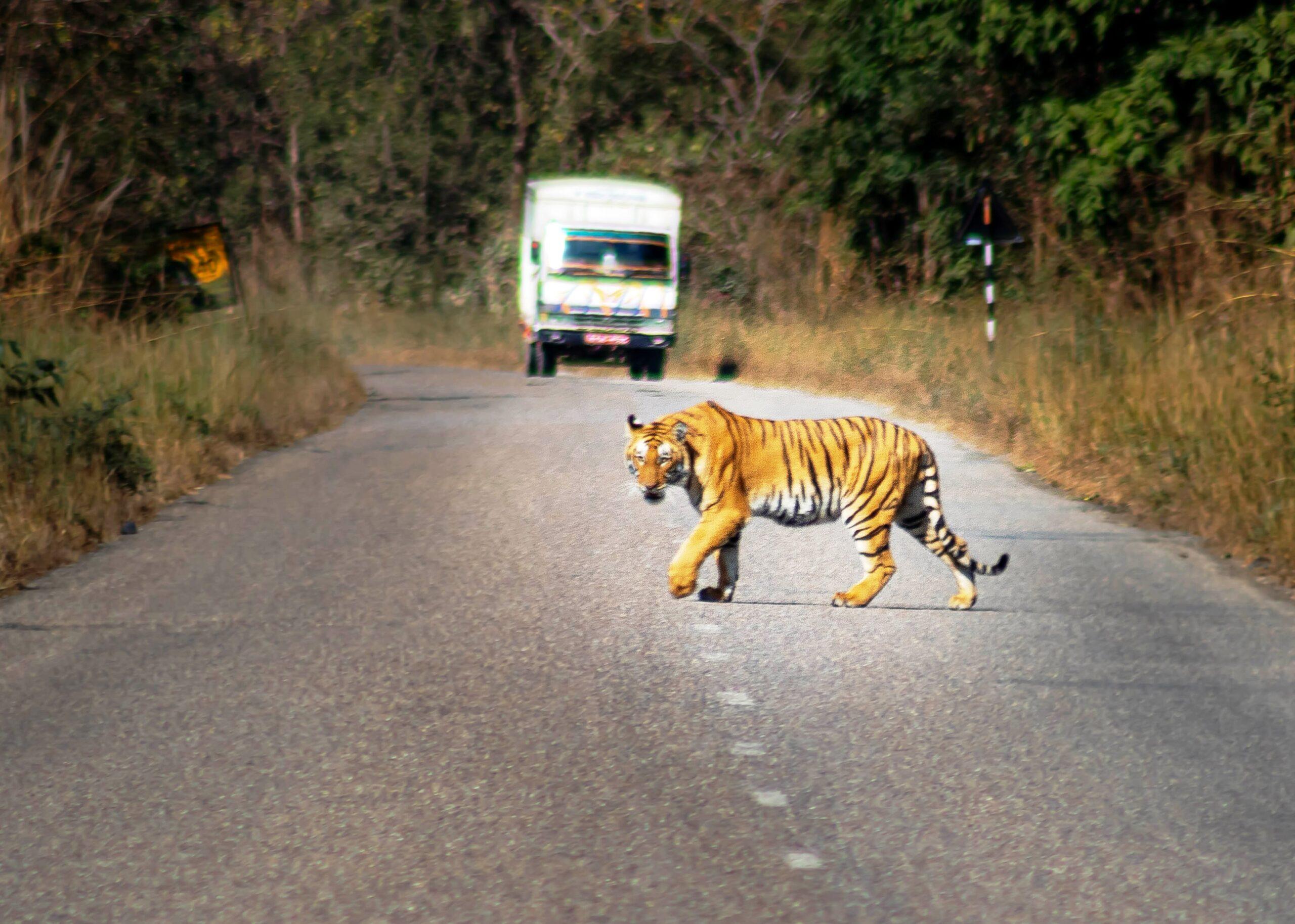 बाघको आक्रमण बढेपछि निकुञ्ज क्षेत्रमा उच्च सतर्कता