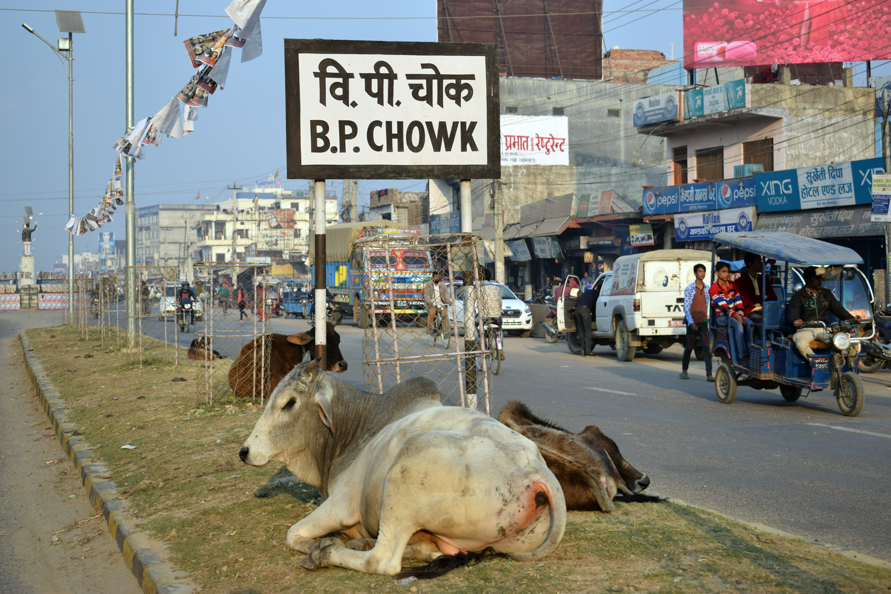 नेपालगन्जका चोकचोकमा छाडा चौपाया, नागरिकलाई सास्ती