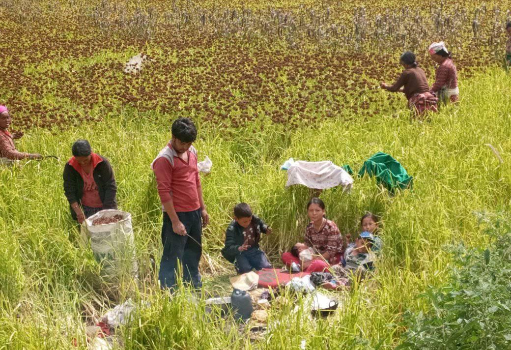 किसानलाई दशैभन्दा बाली थन्क्याउने चटारो
